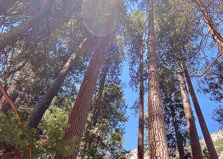 Mighty View Of Yosemite's Trees Art | Coat Of Many Colors