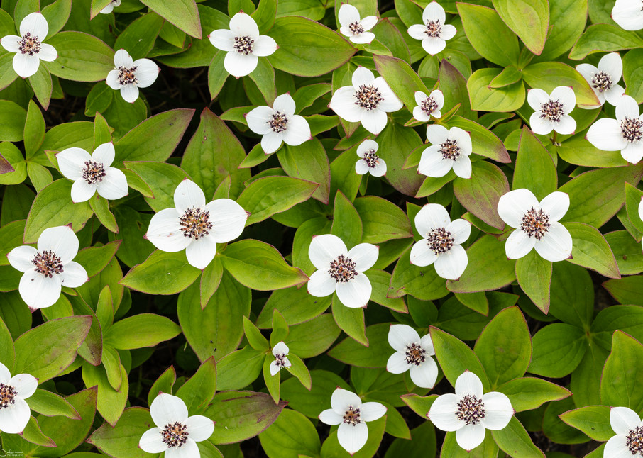 Closeup of Dwarf Dogwood Patterns