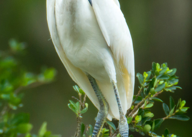 Juvenile Snowy Egret with Attitude