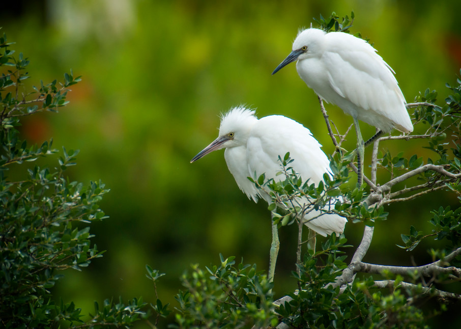 Junvenile Snowy Egrets Perched on Rookery Island