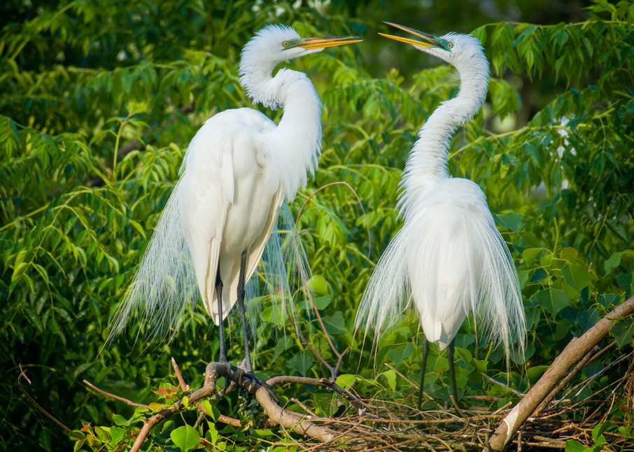 Pair of Great Egrets During Mating Season