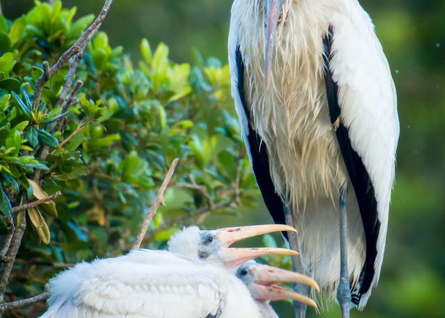 Wood Storks at NEst on Rookery Island