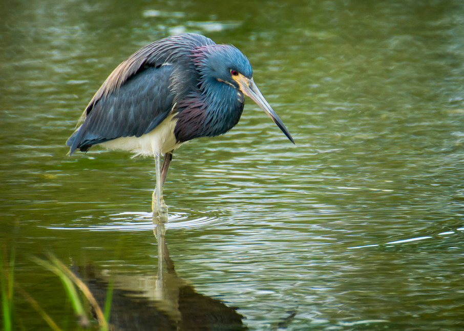 Tricolored Heron Hunting for Fish