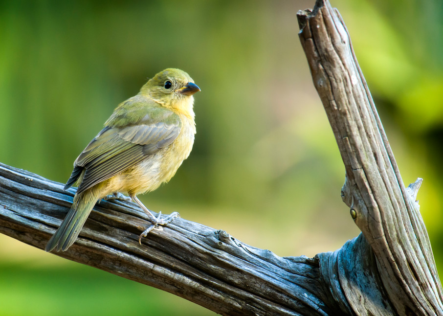 Female Painted Bunting Perched on Drift Wood