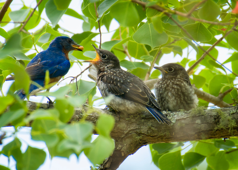 Eastern Blue Bird Feeding Juvenile