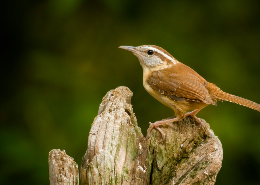 Carolina Wren Perched on Old Fence Post