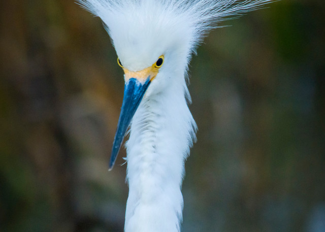 Snowy Egret Showing Off During Mating Season