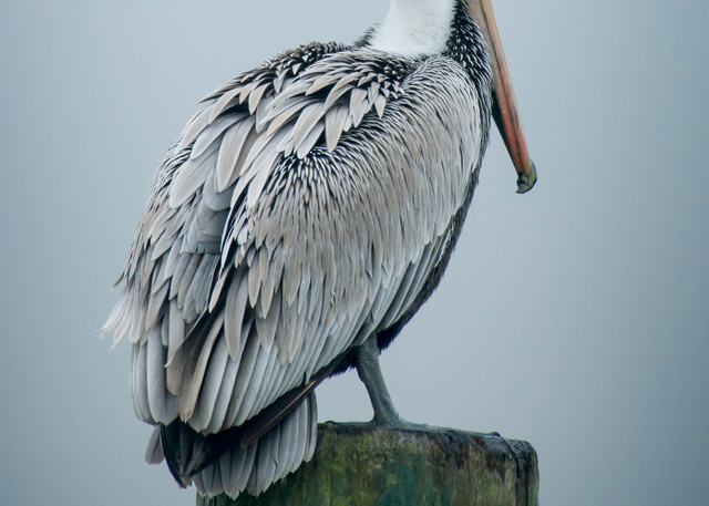 Brown Pelican on Foggy Morning
