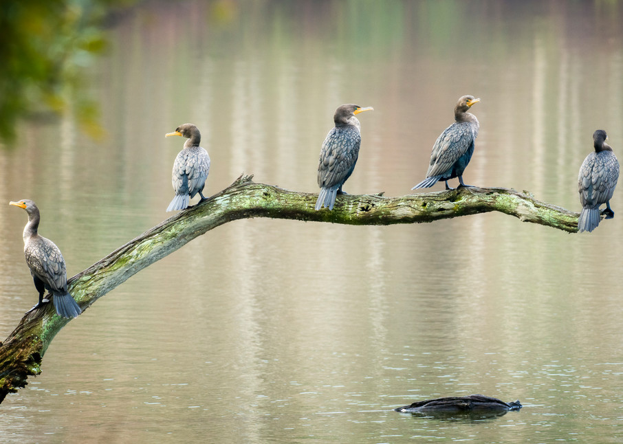 Group of Double-crested Cormorants on a Branch
