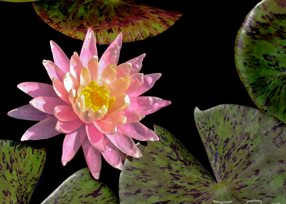 Beauty Among Beast Water Lily by Terry Rosiak