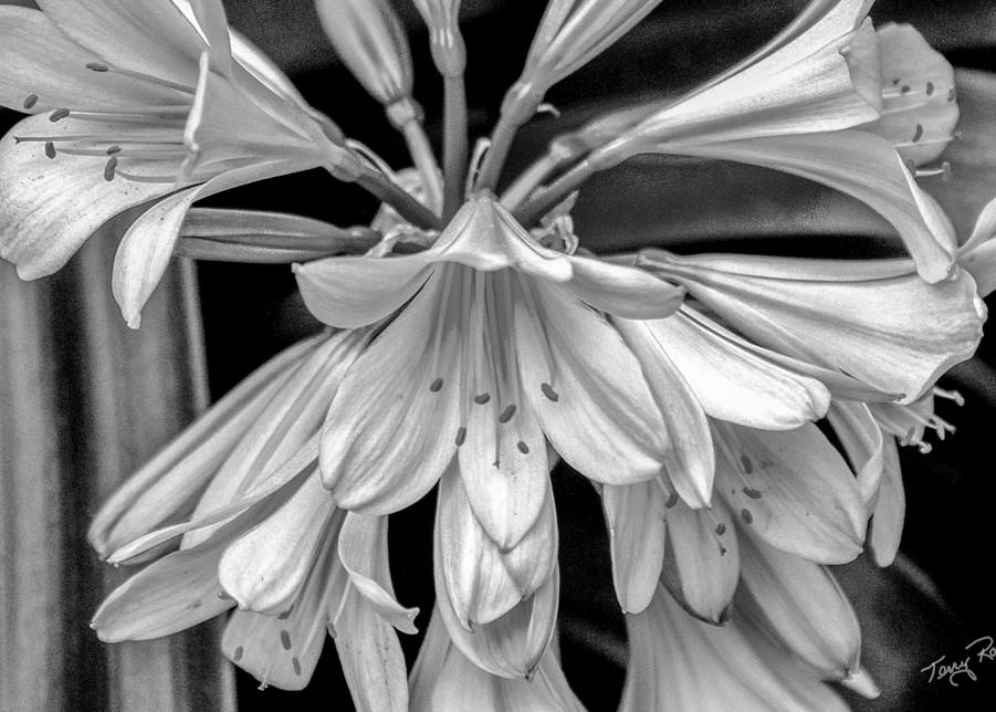 Soft White Flowers in B&W, Photo by Terry Rosiak