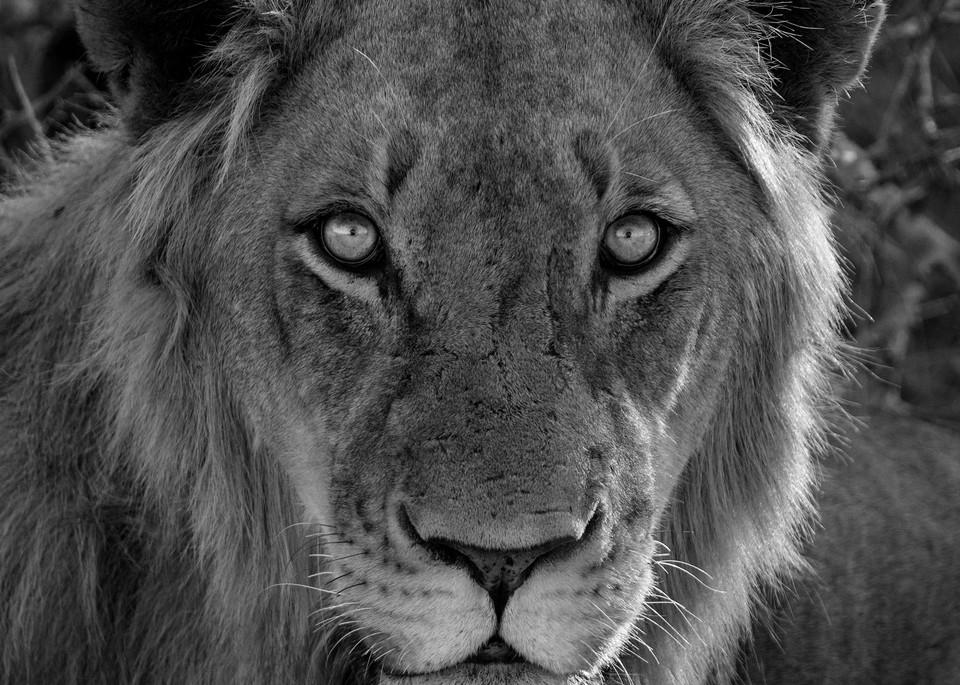 Lion headshot black & white art gallery photo prints by Rob Shanahan