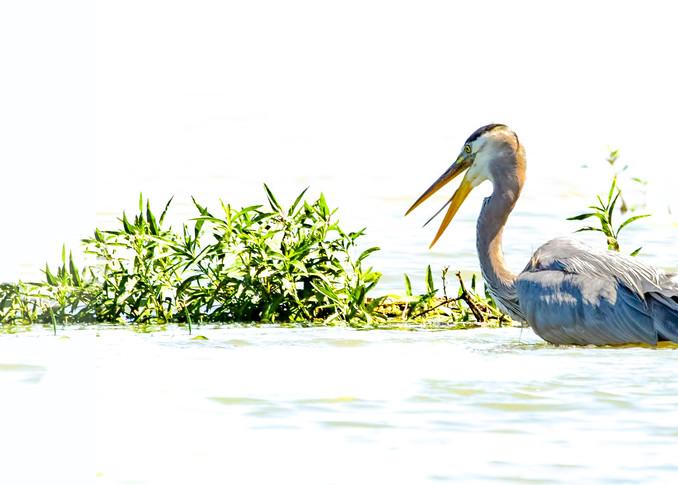 Blue Heron Fishing 0972 1 2 Ratio Art | Koral Martin Fine Art Photography