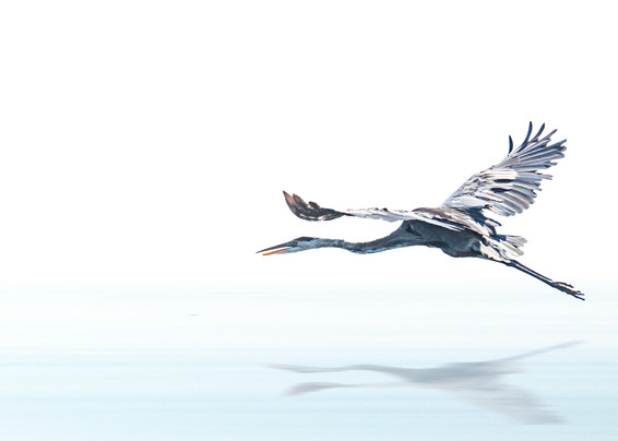 High Key Blue Heron Flying A8621 Koralmartin Photography Art | Koral Martin Healthcare Art