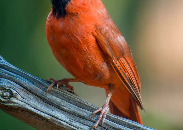 Northern Red Cardinal on Driftwood Branch