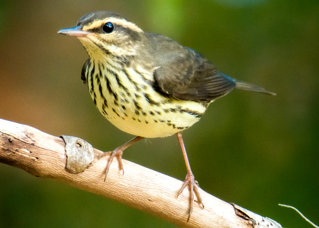 Northern Water Thrush Perched on Branch