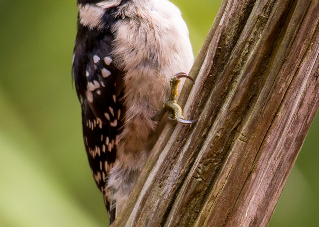 Downy Woodpecker Sitting on Tree Branch