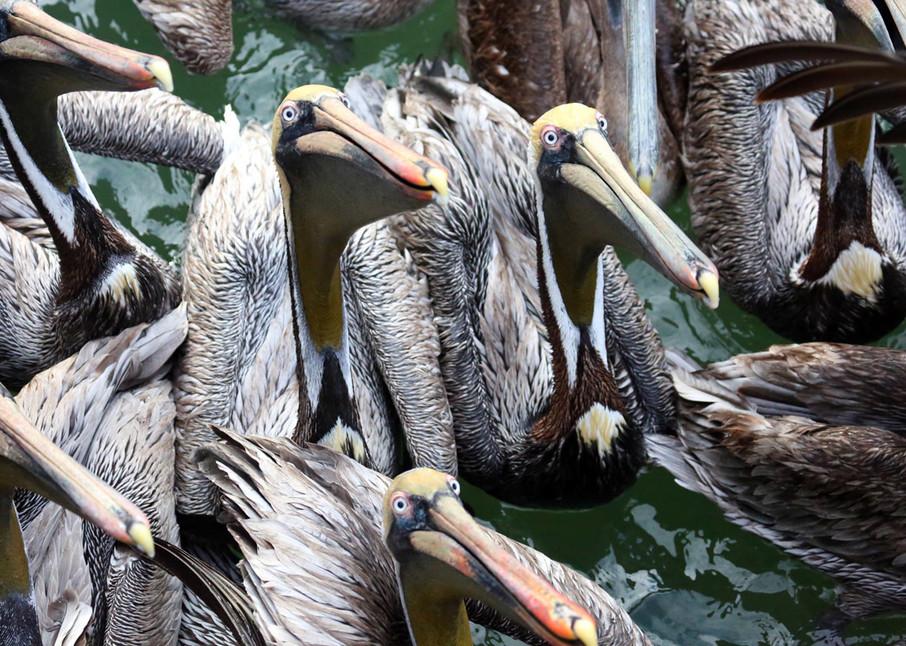 Pelican Cartoon Art | capeanngiclee