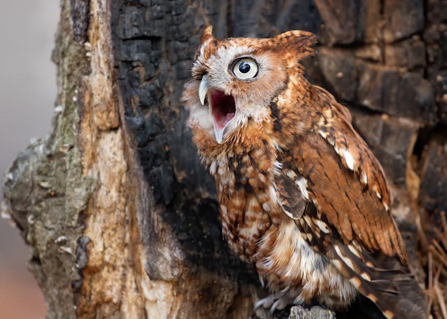 Screech Owl Calling