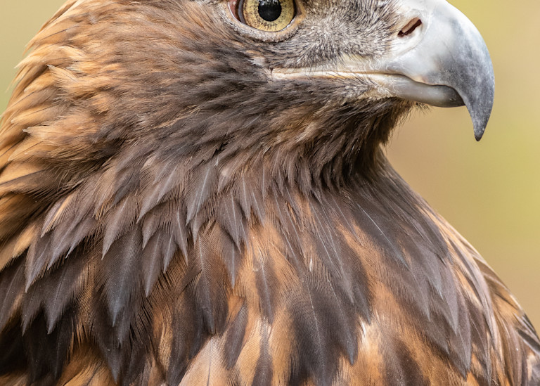 Golden Eagle  Photography Art | Matt Cuda Nature Photography