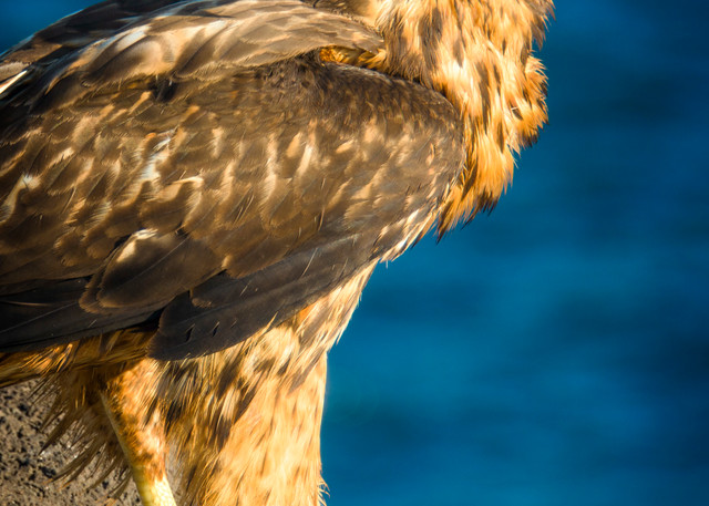 Galapagos Hawk Standing on a Rock Outcropping