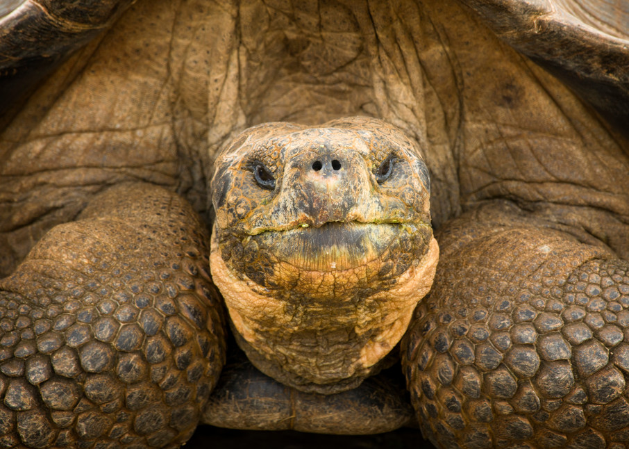 Giant Tortoise Close-up