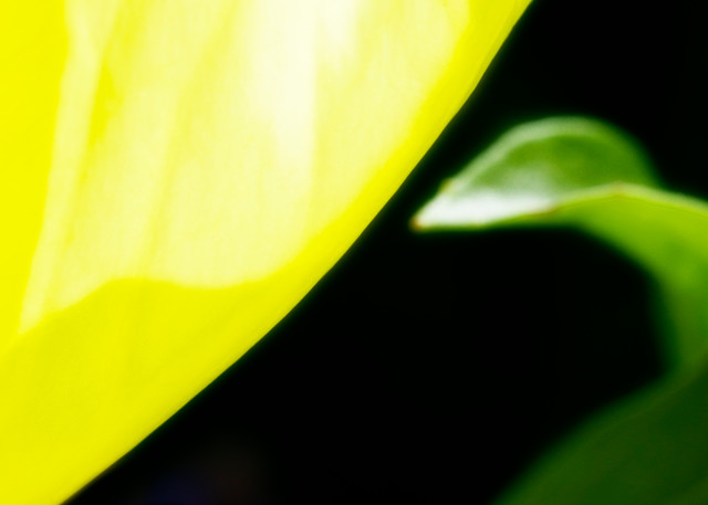 Oenothera Missourinensis Photography Art | Christopher Grey Studios
