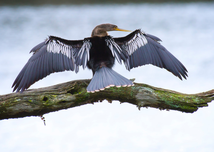Female Anhinga with Wings Spread