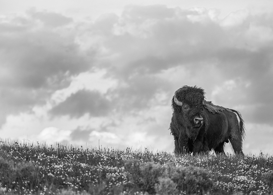 Kingdom  Hayden Valley, Yellowstone Photography Art | Casey McFarland Photography