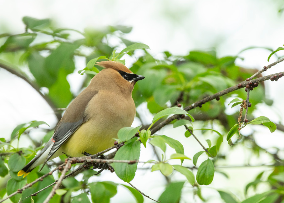 Cedar Waxwing 9 Photography Art | Deb Little Photography
