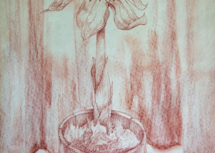 Amaryllis, Conte Crayon On Paper, 1983 Art | Roost Studios, Inc.