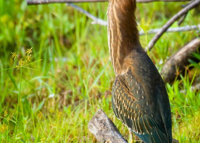Green Heron at Edge of Pond