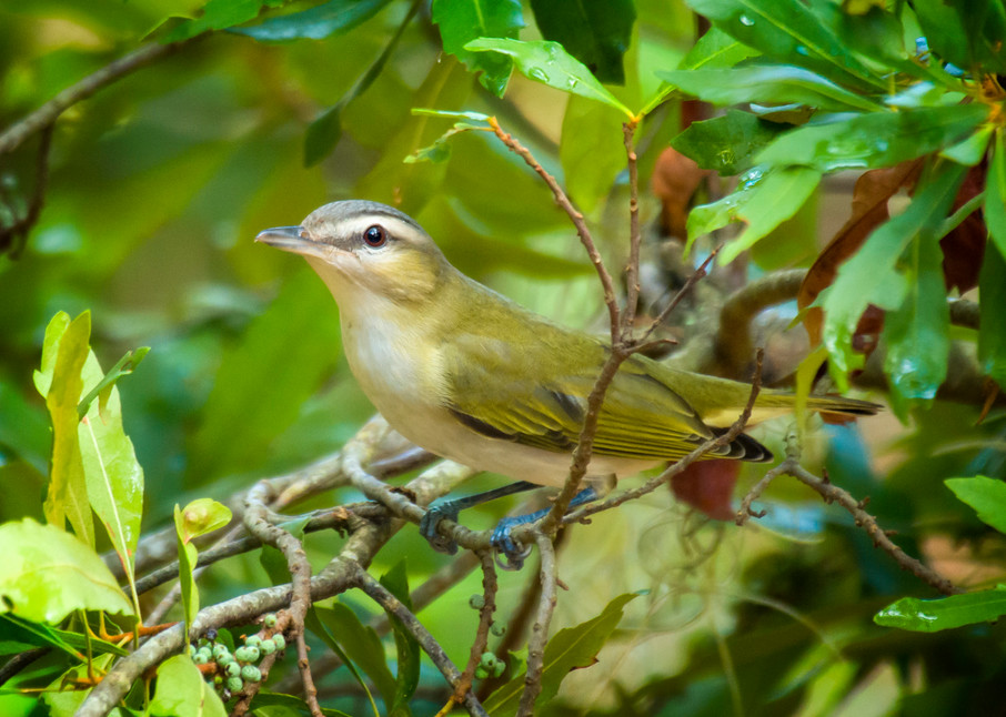 Red Eyed Vireo in a Bush