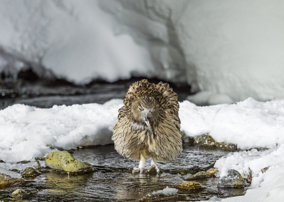 Happy Fish Owl In Rausu Photography Art   Seattle Digital Photography