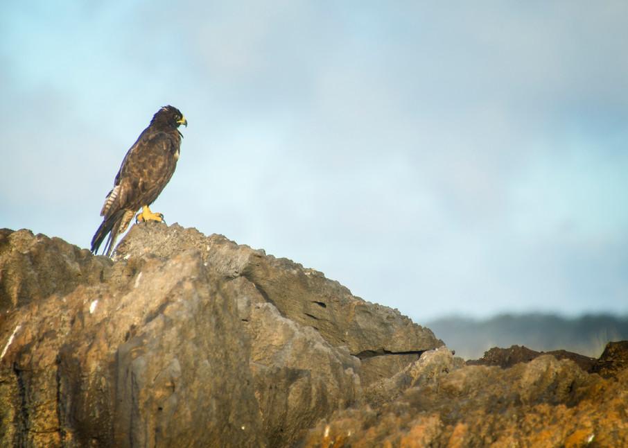 Galapagos Hawk Keeping Watch on Rock