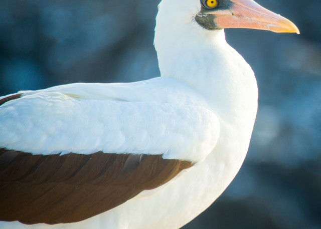 Nazca Booby Standing on Rock Outcrop