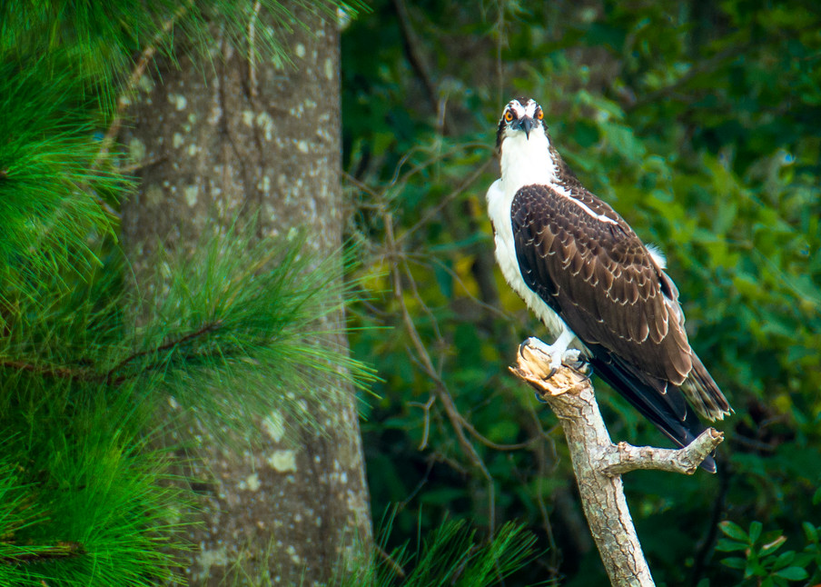 Osprey Standing on Branch Over Lake