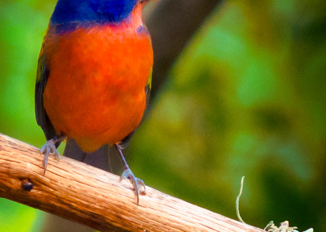 Male Painted Bunting in Profile