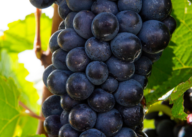 Carrick Vineyard Harvest Dark Photography Art | Kristofer Reynolds Photography