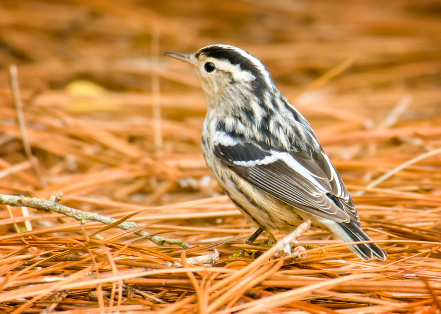 Black and White Warbler in Pine Straw
