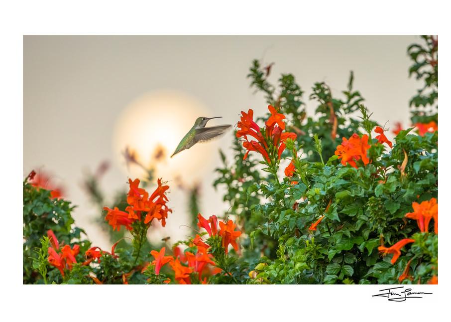 Hummingbird With Moon Photography Art | Tim Laman