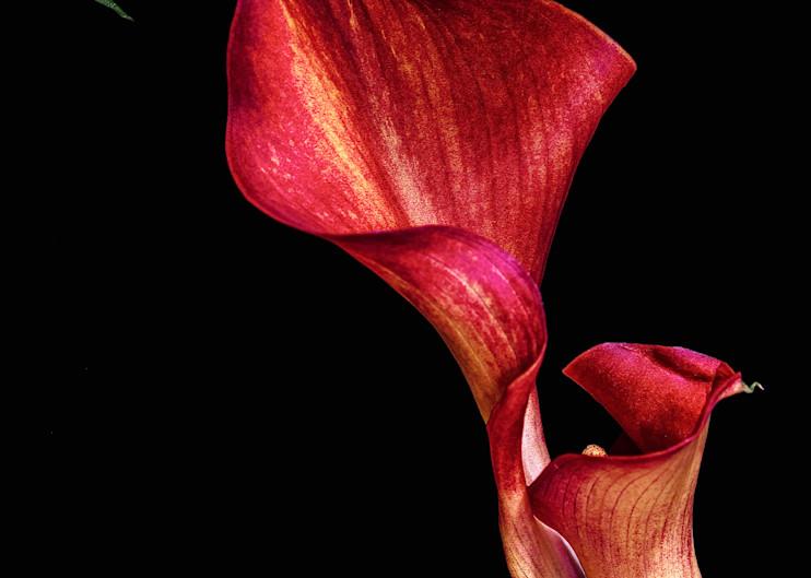 Calla Ablaze   Frontal Photography Art   Sheryl's Virtual Garden
