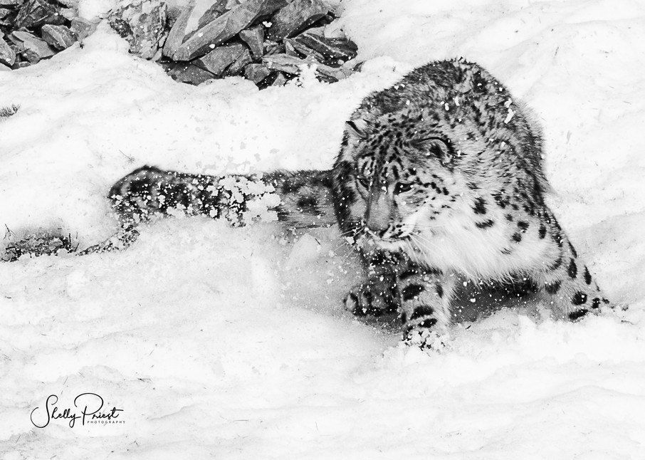 Snow Leopard Photography Art | Shelly Priest Photography