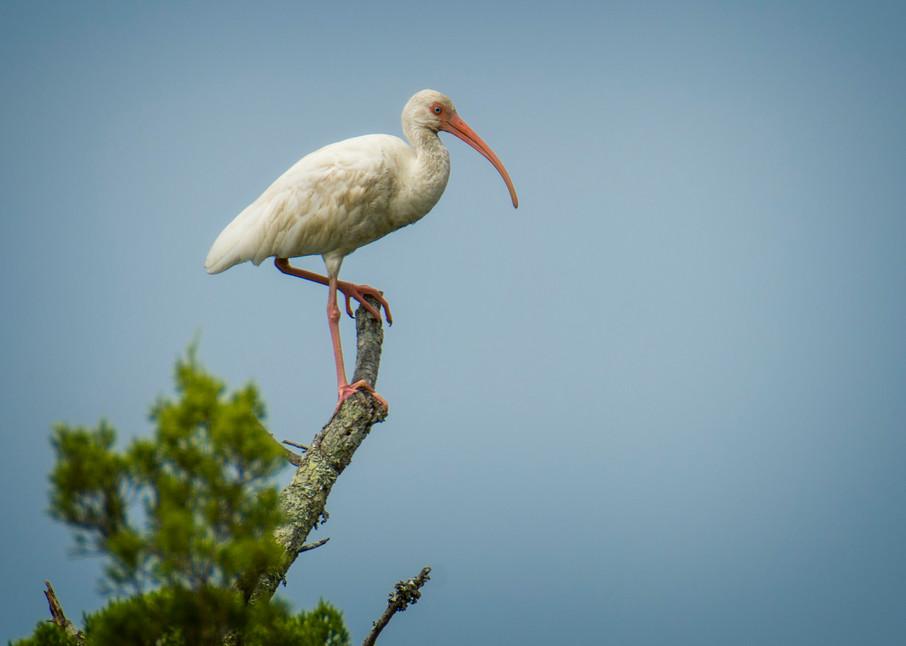 White Ibis on Top of Tree