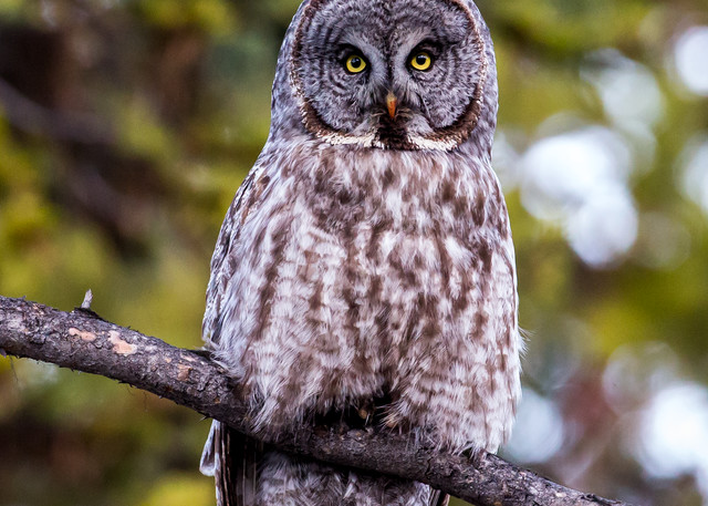 Watchful Great Gray
