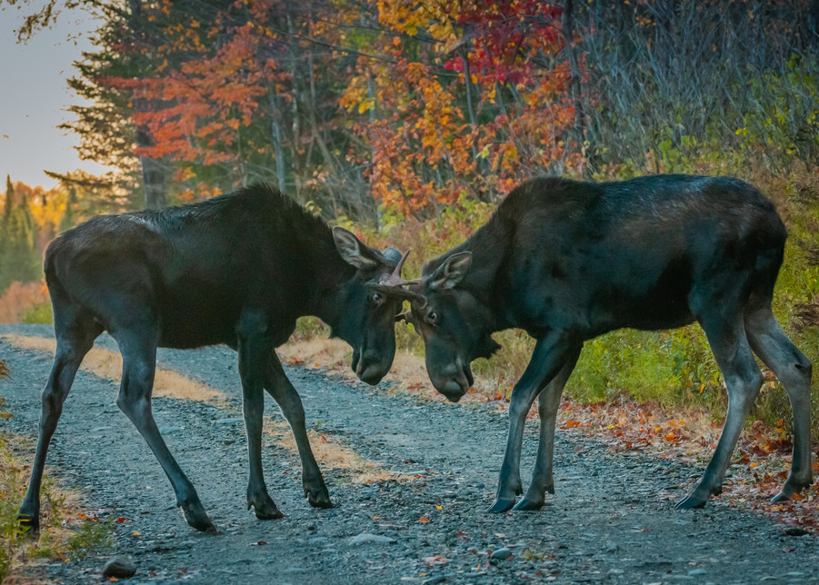 Sparring Bulls Photography Art | Monteux Gallery