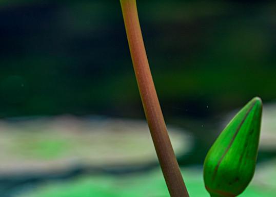 Tall purple lotus flower