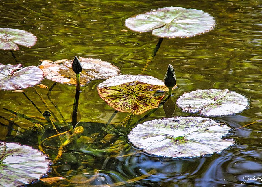 lilypads, lotus, light, float, emerge, natural, pond, jackierobbinsstudio, photographicprints, buyartonline