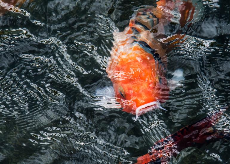 Koi 79 Photography Art | Ed Sancious - Stillness In Change