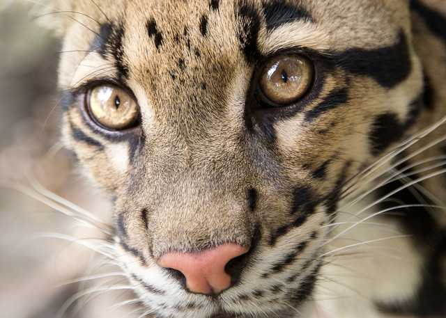clouded, leopard, wildlife, photography